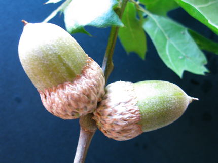california black oak acorn