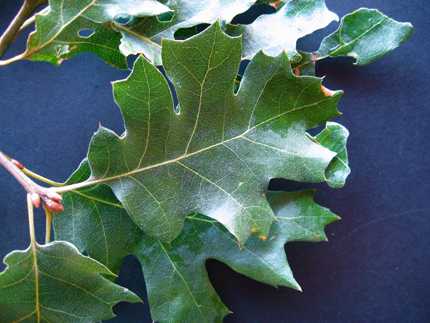 california black oak leaf