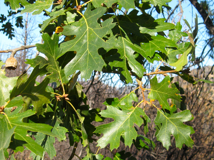 California Black Oak Tree foliage