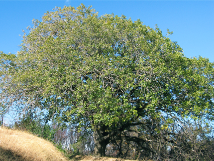 California Black Oak Tree