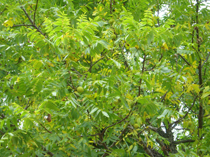 california walnut leaves