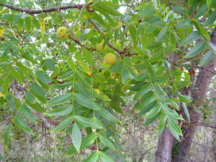 california walnut fruit