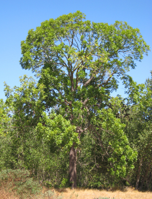 california walnut tree