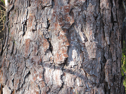 Coulter Pine Bark