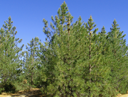 coulter pine trees