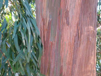 eucalyptus foliage and bark