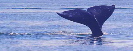 gray whales of the pacific ocean