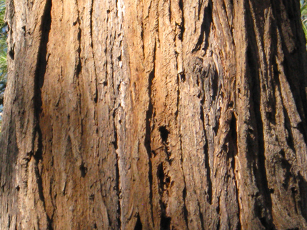 Incense Cedar Bark