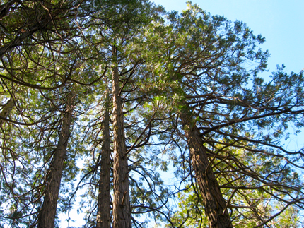 Incese Cedar Forest looking up