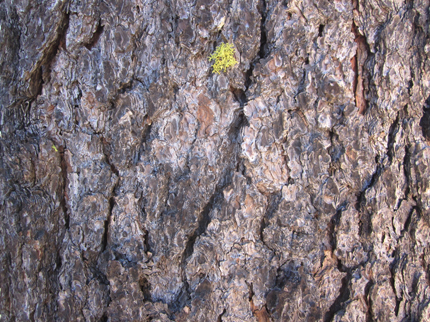 Jeffrey Pine bark