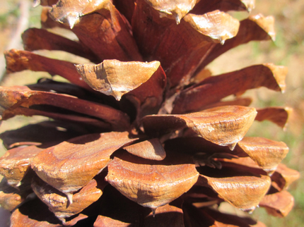 Jeffrey Pine Cone Close-up