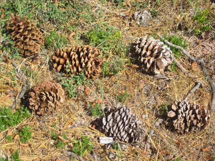 Jeffrey Pine female cones