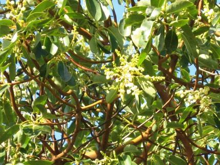madrone flowers and leaves
