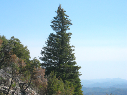 Santa Lucia Fir on the side of Cone Peak