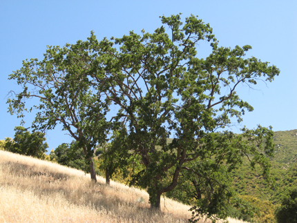 valley oak on hillside